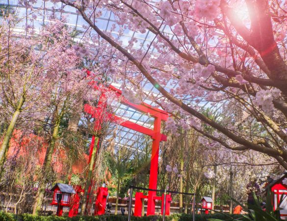 Cherry Blossoms in Bloom at Gardens by the Bay