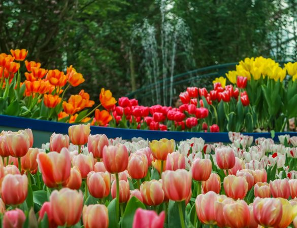 Tulipmania Returns at Gardens by the Bay with Van Gogh's Art Pieces