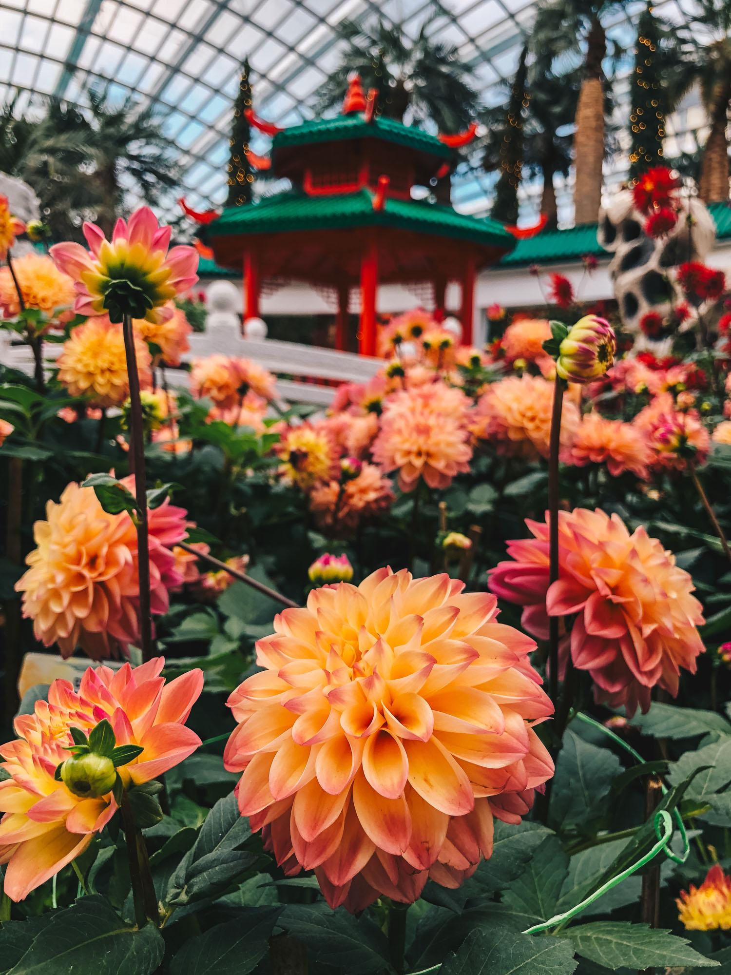 Dahlia Dreams at Gardens by the Bay