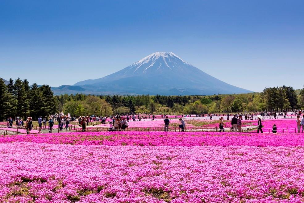 2018 Fuji Shiba-sakura Festival