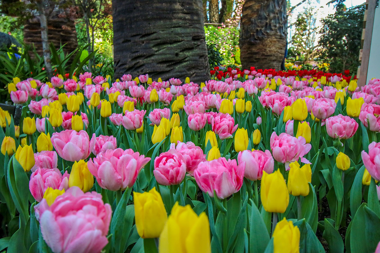 Tulipmania2019-darrenbloggie